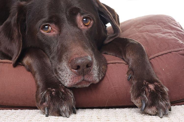 Contusión cerebral en perros