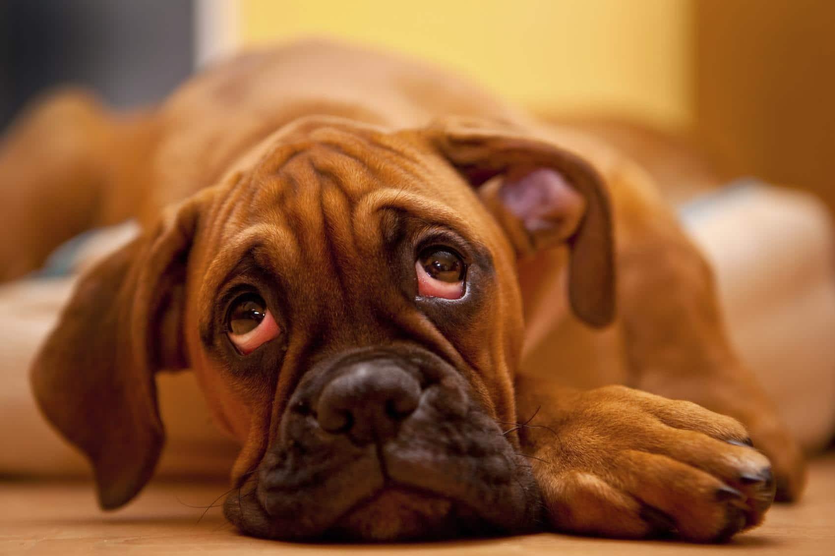 Perros y la contusión cerebral
