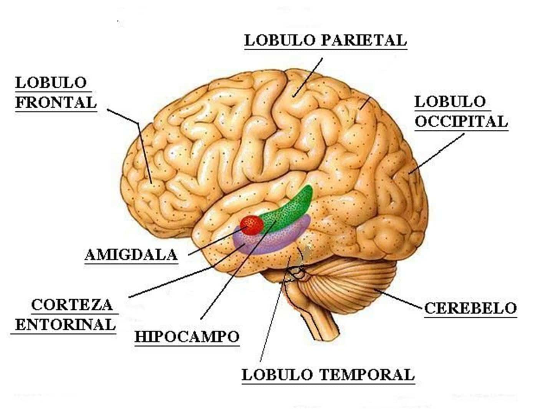 cerebro y funciones sensoriales
