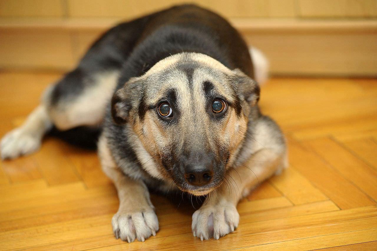 anemias regenerativas en perros