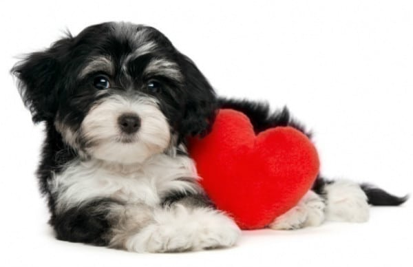 soplos cardiacos en los perros